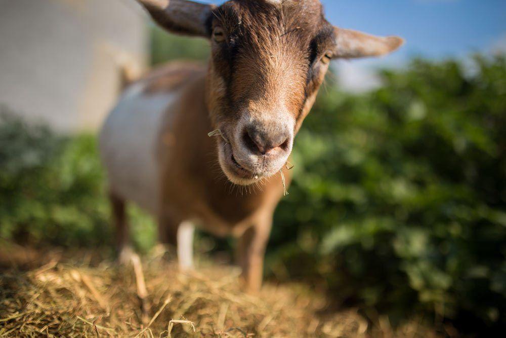 Sharing Space: Goats - Chenoa Manor